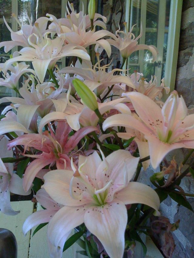 Baker's Lilies 20120710