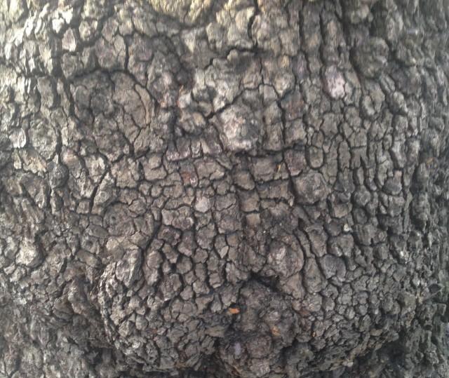 03 rough tree bark IMG_6924