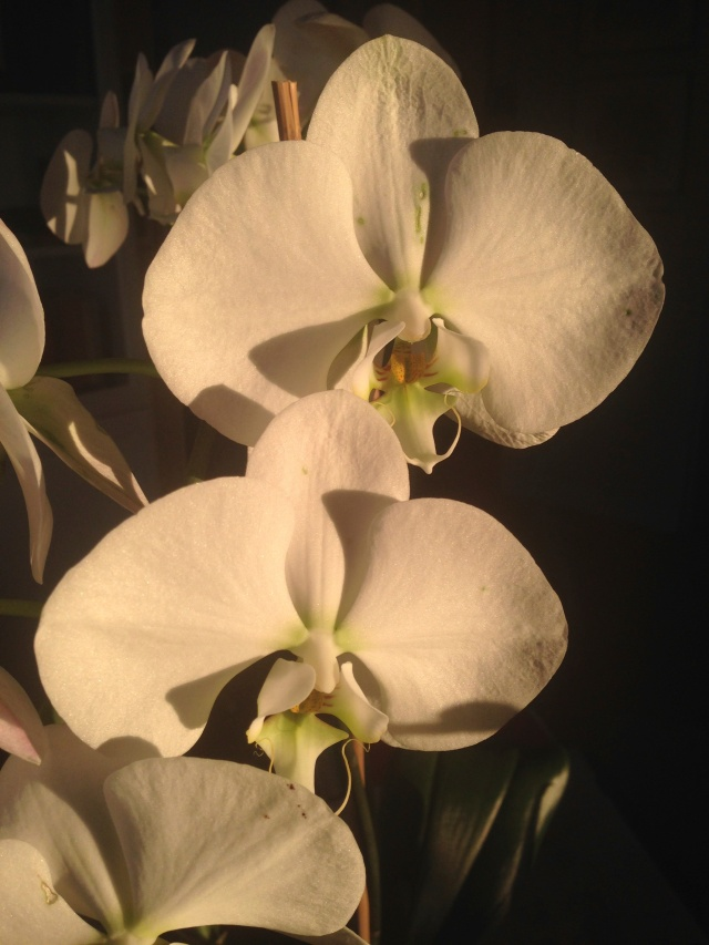 08 White orchid IMG_6913