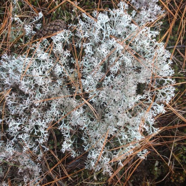 02 intricate grey lichen IMG_7053