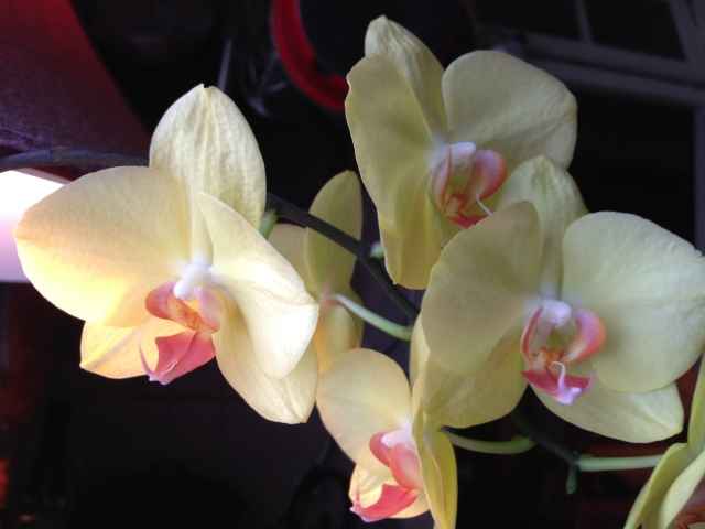 05 Yellow orchids IMG_4826