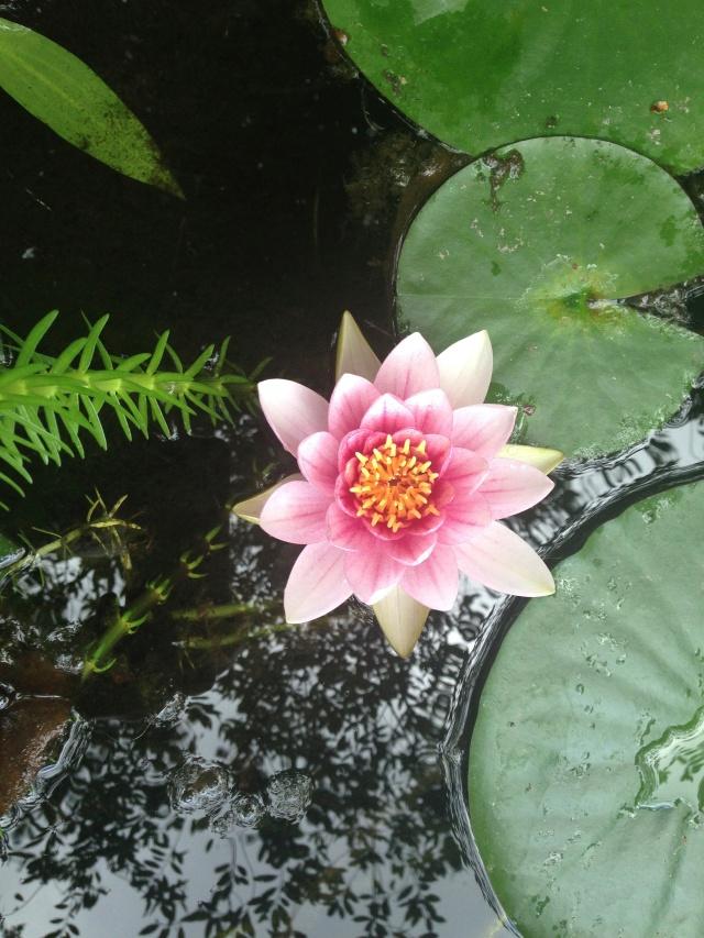 03 lotus IMG_7972