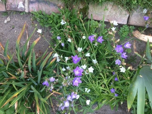 03 purple and white flowers IMG_8384