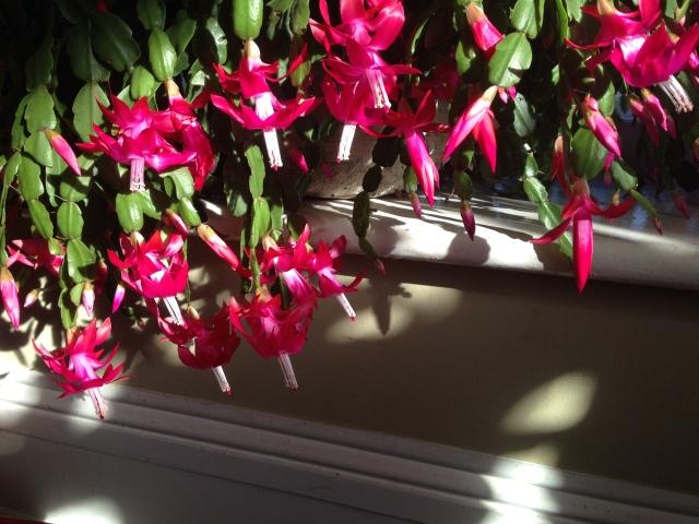 02 Christmas Cactus IMG_1781