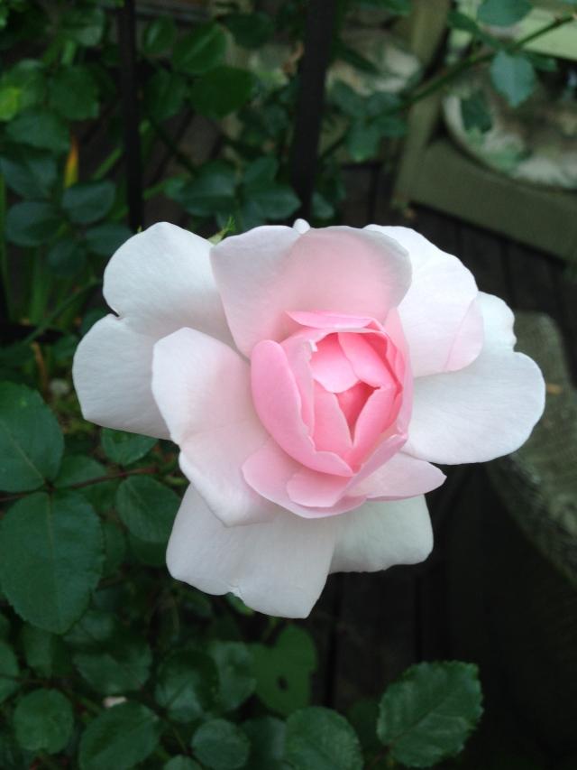 05 Rose IMG_1156