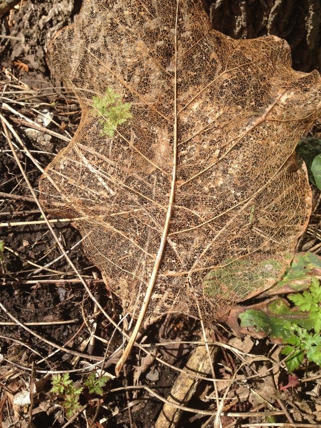 05 leaf skeleton 1 IMG_4053